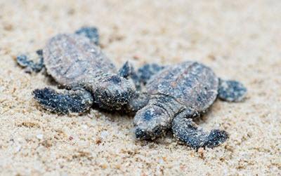 Hawksbill Turtle babies