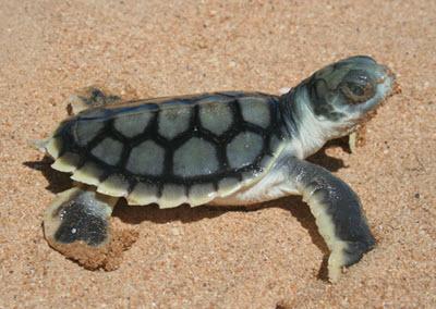 flatback turtle baby