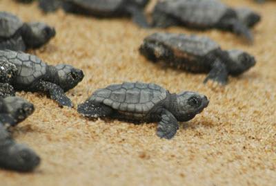 loggerhead turtle babies